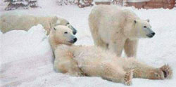 Just kidding!  We don't have polar bears!   at Maple Court Cottages Port Dover Ontario Canada
